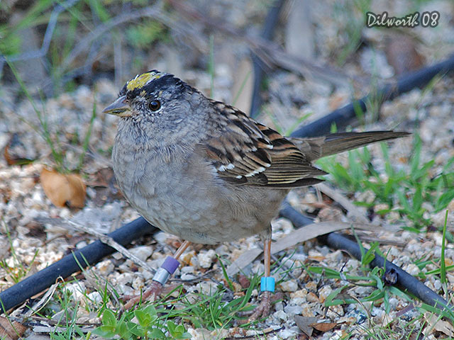 703 Golden-crowned Sparrow