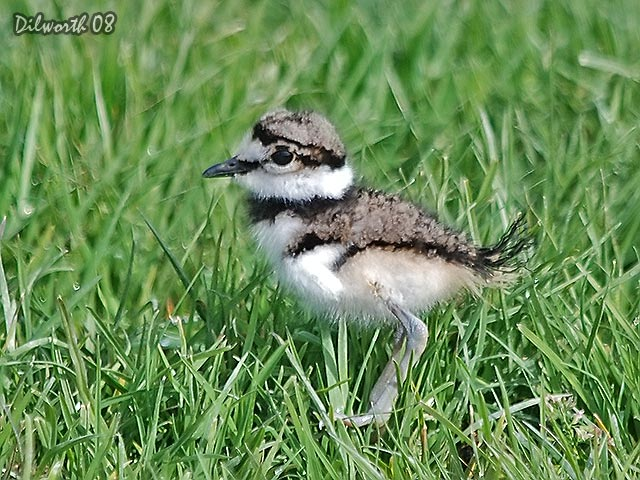 710 Killdeer