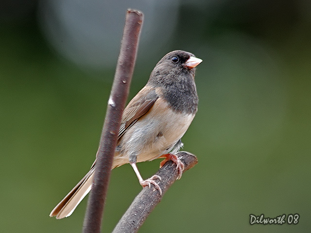712 Dark-eyed Junco