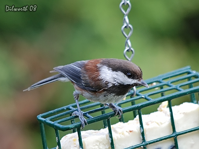 715 Chestnut-backed Chickadee
