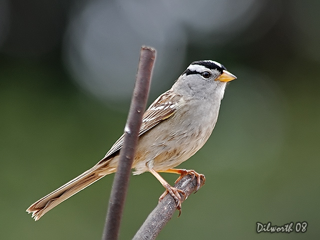 716 White-crowned Sparrow