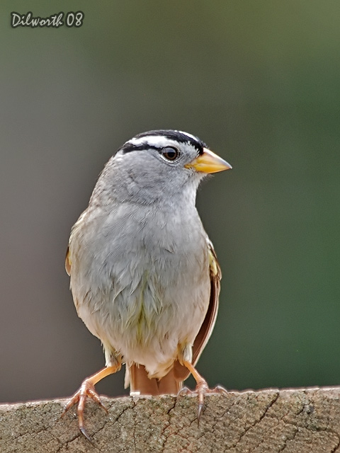 v716m White-crowned Sparrow