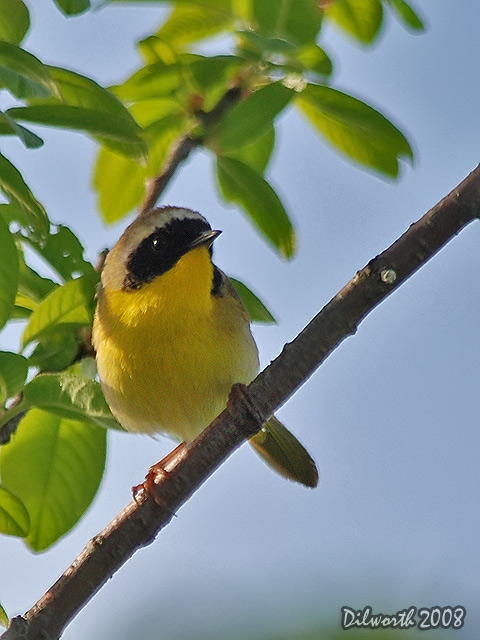 v721 Common Yellowthroat