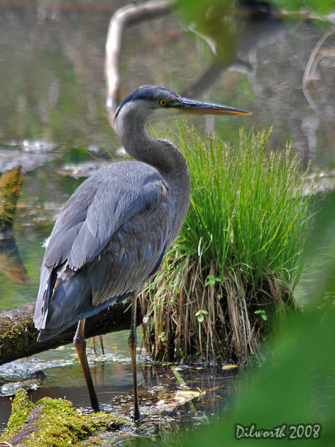 v724m1 Great Blue Heron