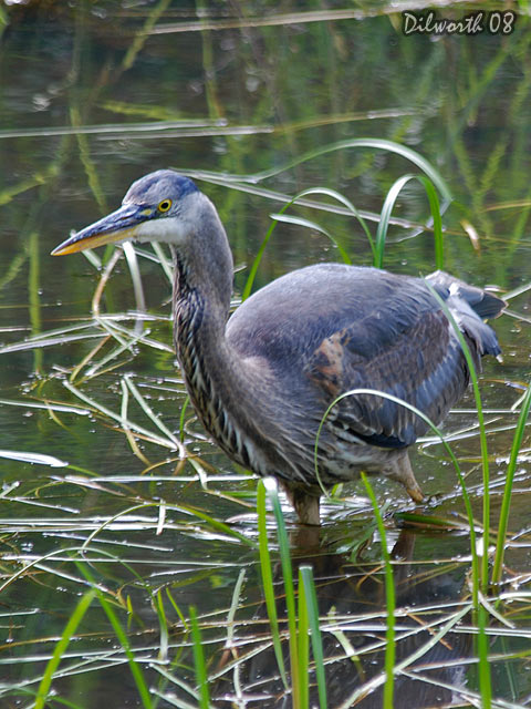 v724m2 Great Blue Heron
