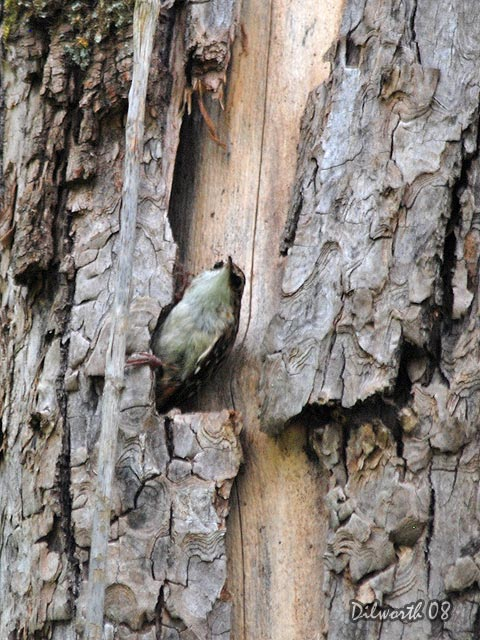 v725m1 Brown Creeper