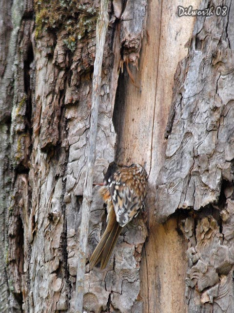 v725m2 Brown Creeper