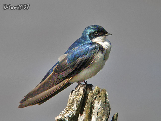 726 Tree Swallow