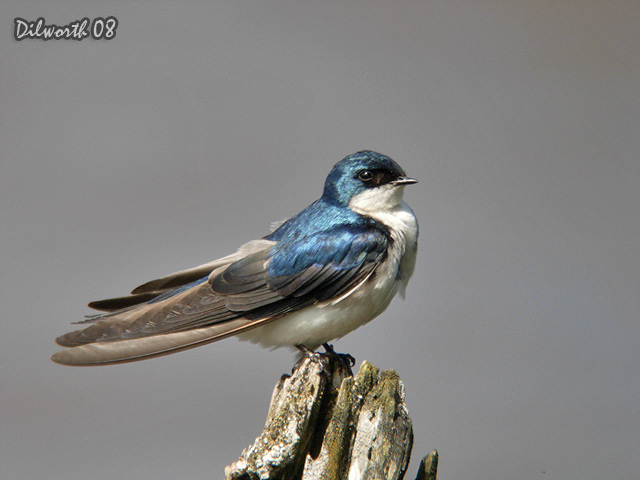 726m1 Tree Swallow