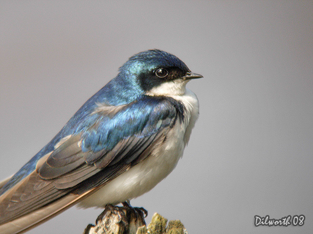 726m2 Tree Swallow