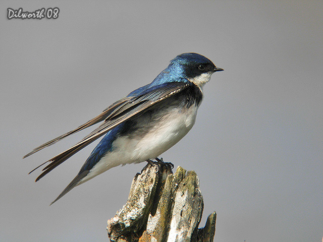 727m1 Tree Swallow