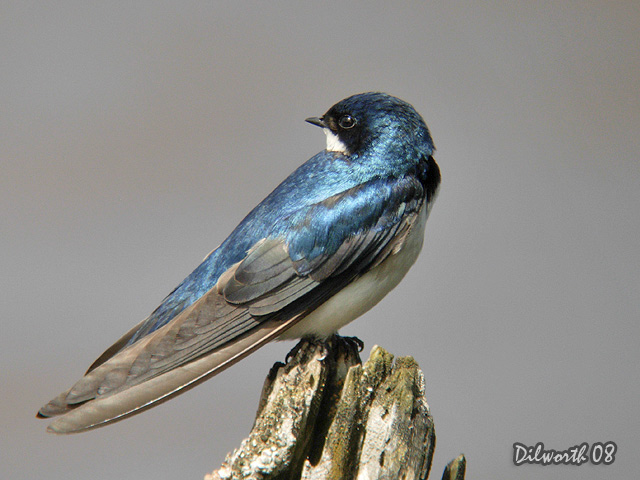 727m2 Tree Swallow