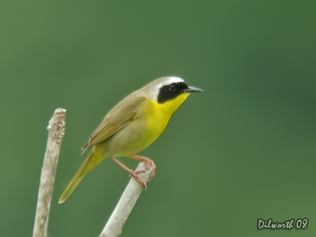 729 Common Yellowthroat