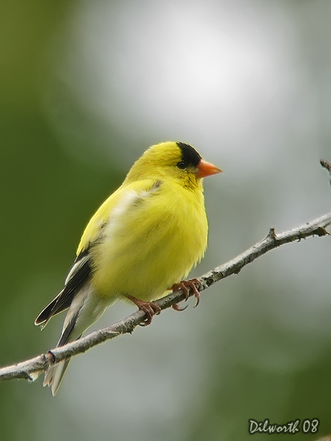 v730 American Goldfinch