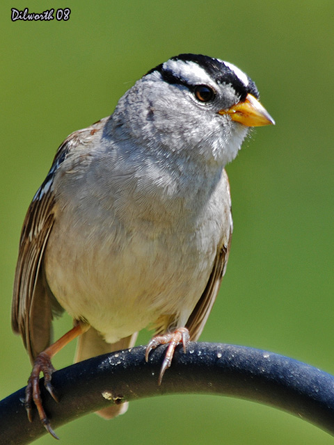 v738 White-crowned Sparrow