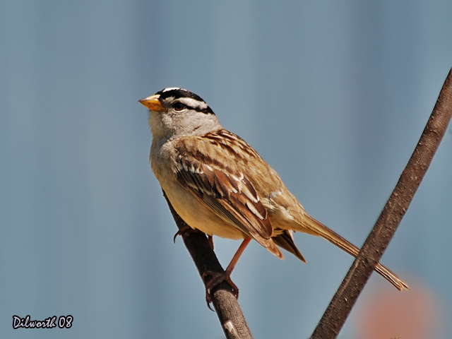 738m White-crowned Sparrow