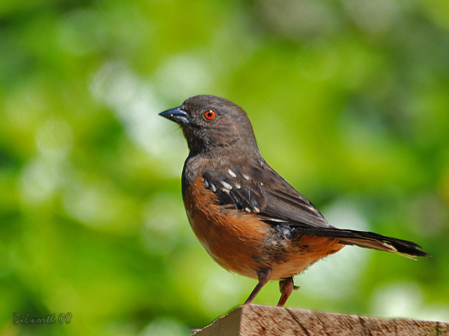 739 Spotted Towhee