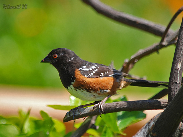739m2 Spotted Towhee