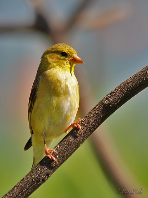 v741m American Goldfinch