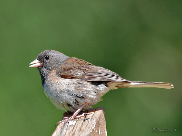 743 Dark-eyed Junco
