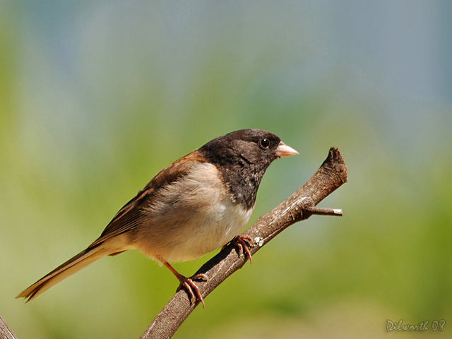743m Dark-eyed Junco