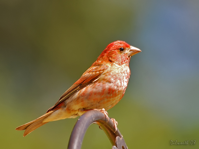 744 Purple Finch