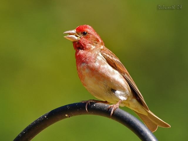 744m1 Purple Finch