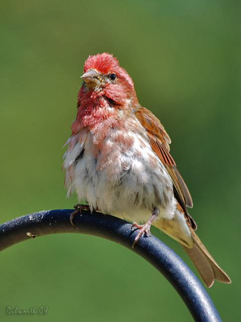v744m3 Purple Finch