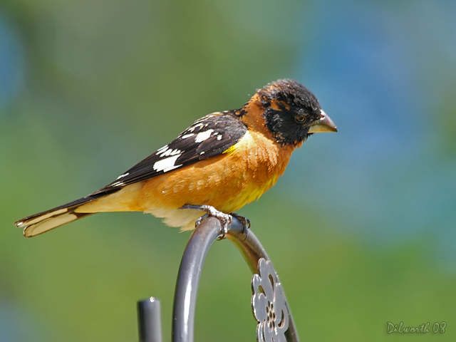 745m3 Black-headed Grossbeak