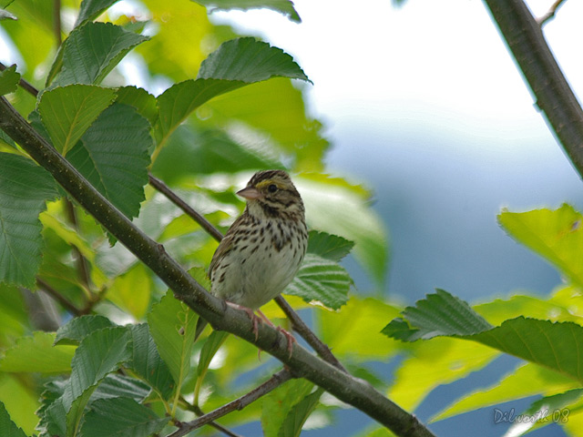 746 Savannah Sparrow