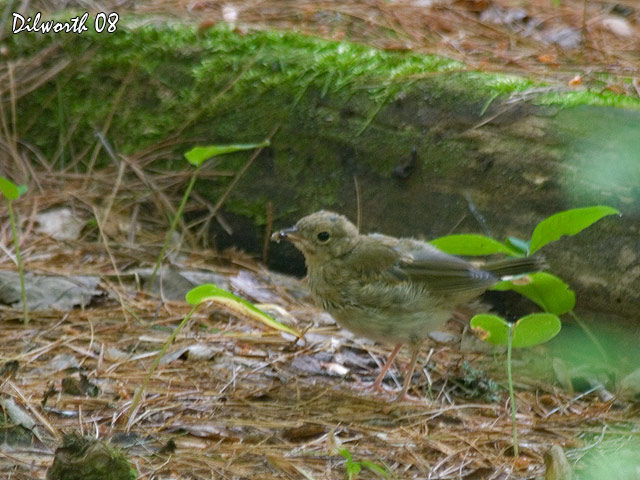 754m Unknown Thrush