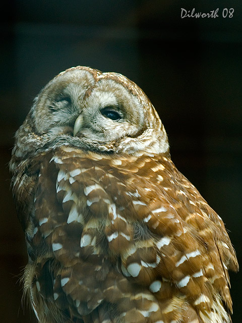v755 Barred Owl