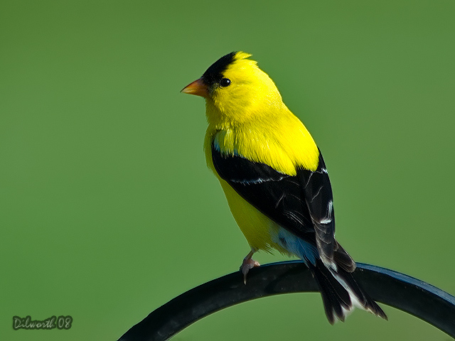760 American Goldfinch