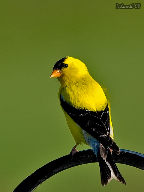 v760m American Goldfinch