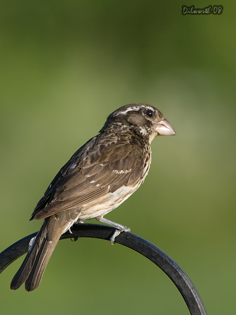 v765 Rose-breasted Grosbeak
