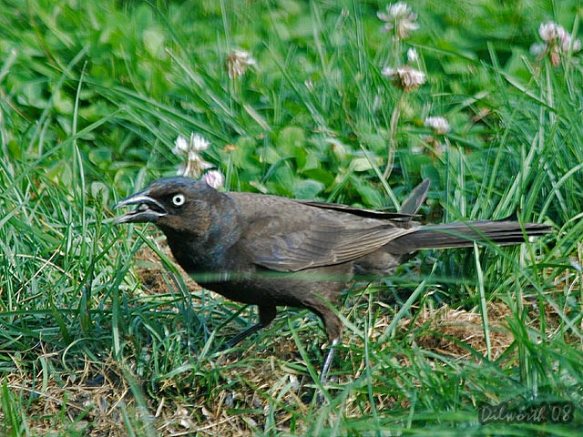 767 Common Grackle