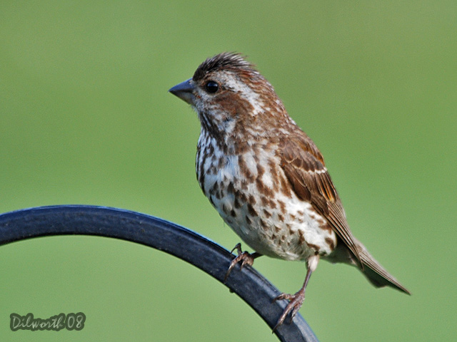 768 Purple Finch