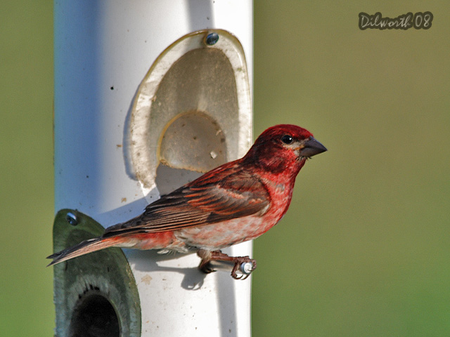 769 Purple Finch
