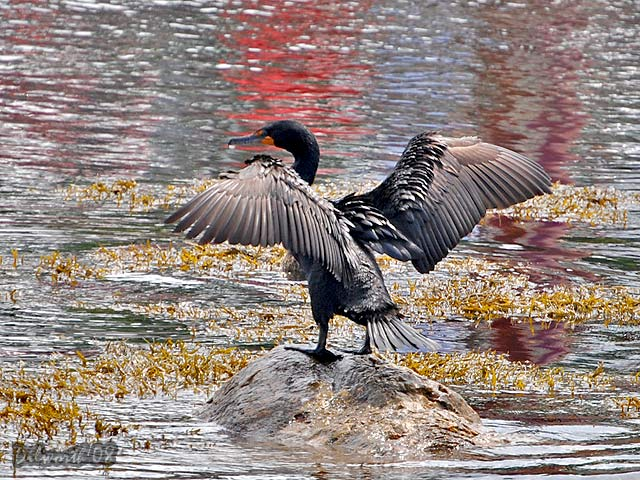 774 Double-crested Cormorant