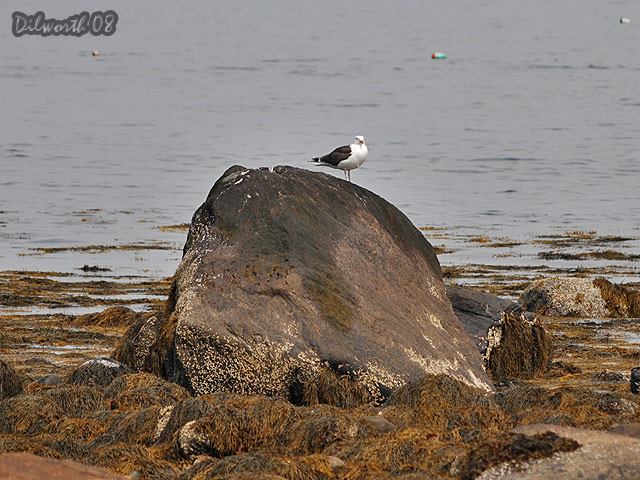 775 Great Black-backed Gull
