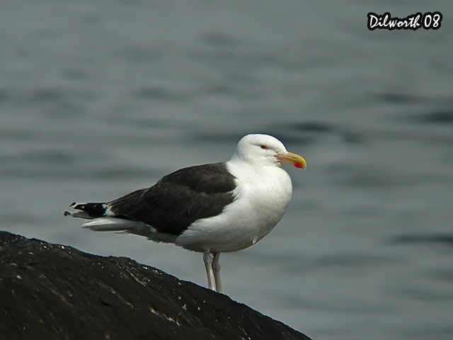 775m1 Great Black-backed Gull