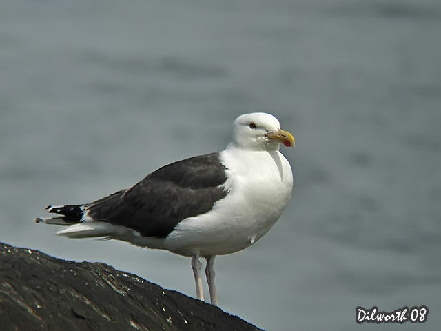 775m2 Great Black-backed Gull