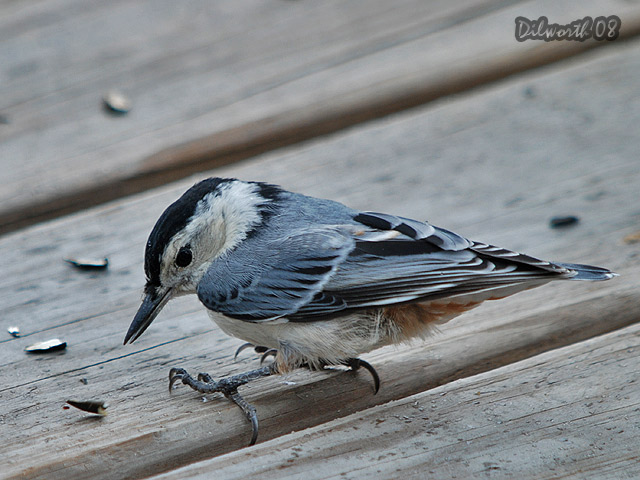 780 White-breasted Nuthatch