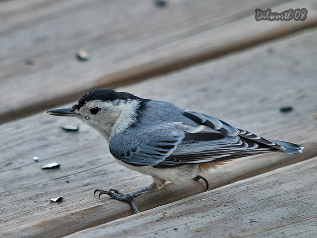 780m1 White-breasted Nuthatch