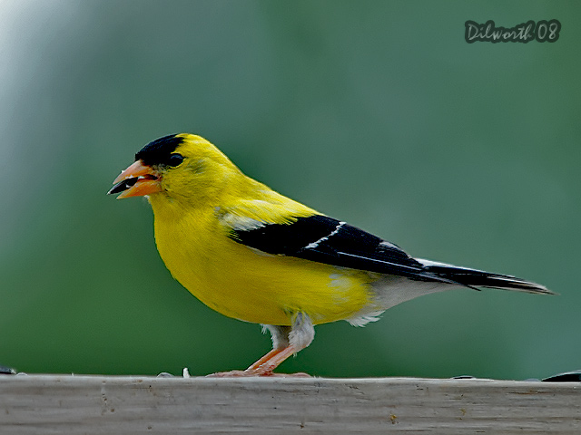 782m2 American Goldfinch