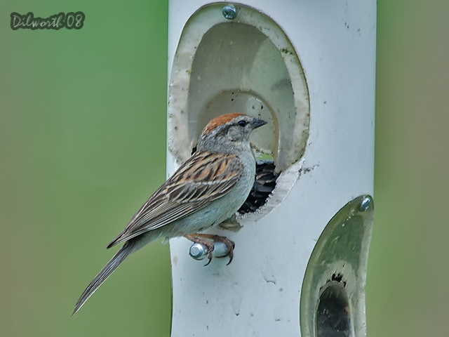 783 Chipping Sparrow