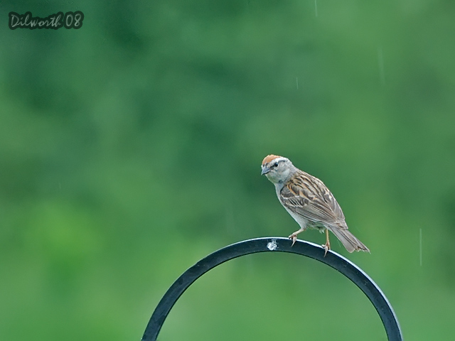 783m Chipping Sparrow