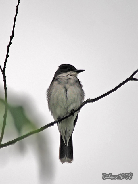 v786 Eastern Kingbird