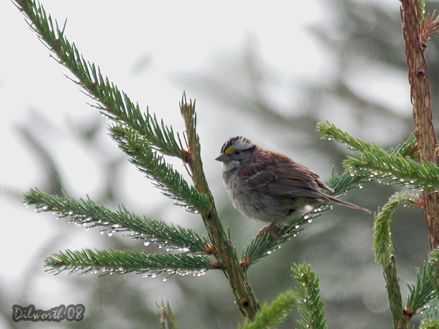 788 White-throated Sparrow