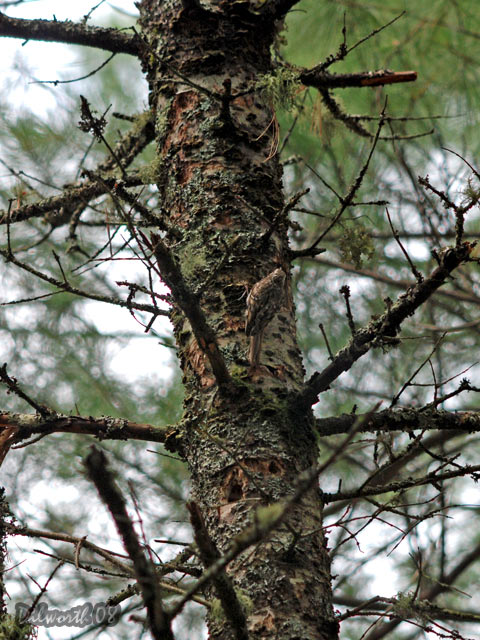 v790 Brown Creeper